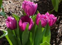 Тюльпаны, фото