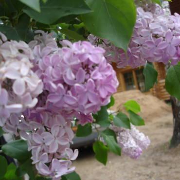 Декоративные кустарники во время цветения