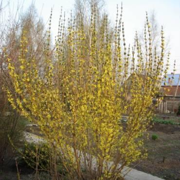 Декоративные растения весной. Чем они привлекательны до цветения?